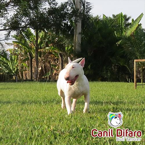 Bull Terrier Fêmea Hannah