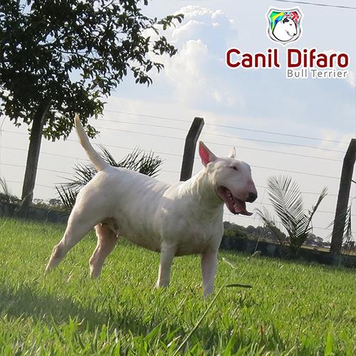 Bull Terrier Fêmea Hannah 01