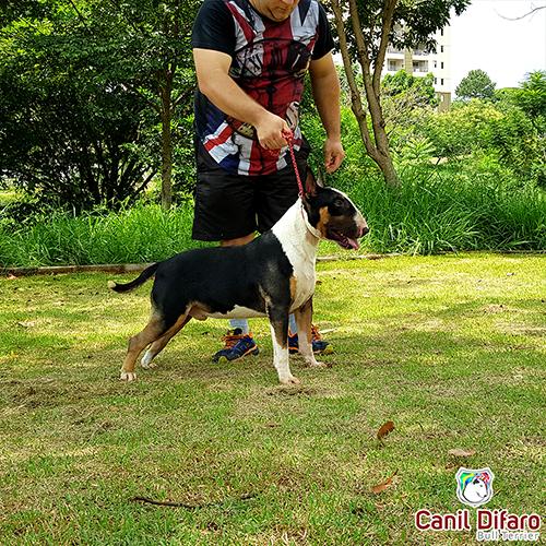 Bull Terrier Macho Monster Difaro 02