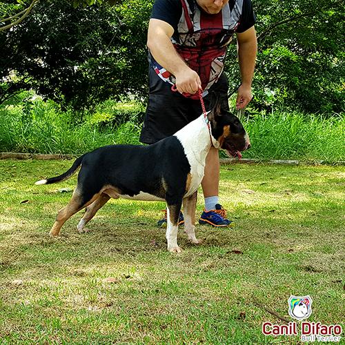 Bull Terrier Macho Monster Difaro 05
