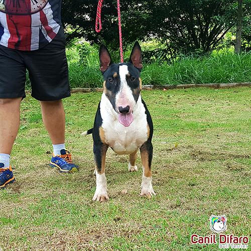 Bull Terrier Macho Monster Difaro 06